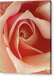 Rose Acrylic Print by Art Shimamura
