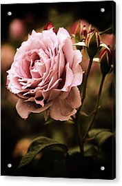 Rose Blooms At Dusk Acrylic Print by Jessica Jenney