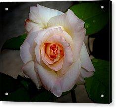 Rose Blushing After Rain Acrylic Print by B Nelson