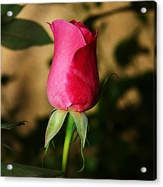 Rose Bud Acrylic Print by Anthony Jones