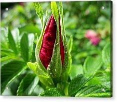 Rose Bud Acrylic Print
