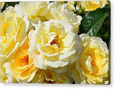 Rose Bush Acrylic Print