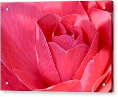 Rose Camellia Acrylic Print by Lori Kesten