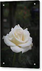Rose Acrylic Print by Christina Durity