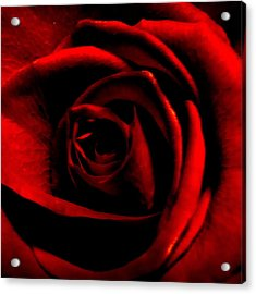 Rose Acrylic Print by CML Brown