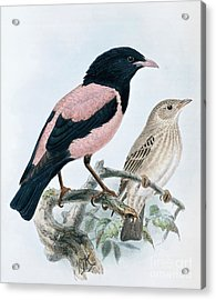 Rose Colored Starling Acrylic Print
