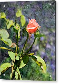 Rose Elegance Art Acrylic Print by Sherry  Curry
