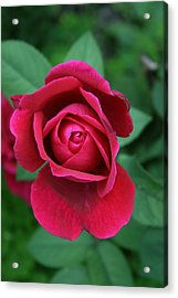 Rose Eye Acrylic Print by Alan Rutherford