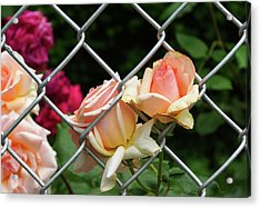 Rose Fence Acrylic Print