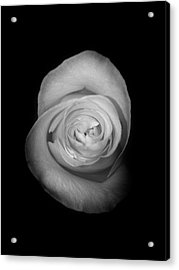 Rose From The Shadows Acrylic Print