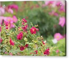 Acrylic Print featuring the photograph Rose Garden Promise by Kim Hojnacki