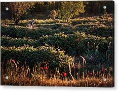 Rose Harvest Acrylic Print