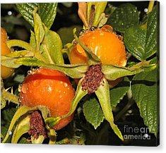 Acrylic Print featuring the photograph Rose Hips by Debbie Stahre