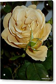 Rose In Ecru Acrylic Print by Lois Lepisto