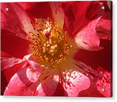 Rose In Pink Acrylic Print by Alfred Ng
