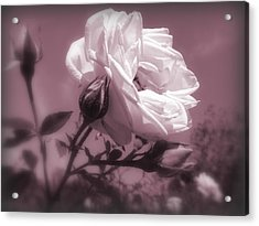 Rose In Rose Acrylic Print