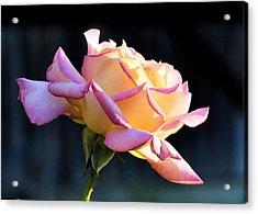 Rose In Sunshine Acrylic Print