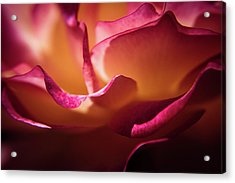 Rose In The Afternoon Acrylic Print