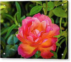 Rose In The Evening Acrylic Print
