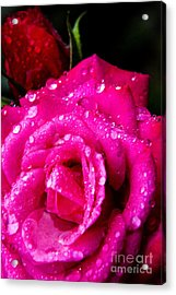 Rose In The Rain Acrylic Print by Thomas R Fletcher