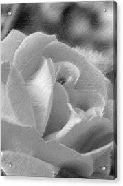 Rose Acrylic Print by John Bradburn