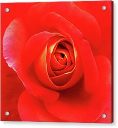 Rose Acrylic Print by Mary Ellen Frazee