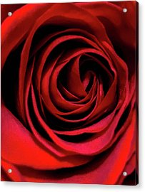 Rose Of Love Acrylic Print