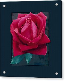 Rose Of Many Colors Acrylic Print
