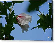 Rose Of Sharon After The Rain Acrylic Print by Martin Morehead
