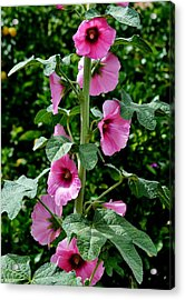 Rose Of Sharon Vine Acrylic Print