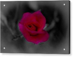 Rose Of Solitude Acrylic Print