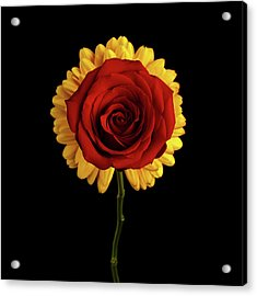 Rose On Yellow Flower Black Background Acrylic Print by Sergey Taran