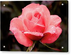 Acrylic Print featuring the photograph Rose Petals And Drops by Julie Palencia