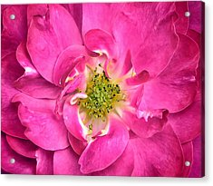 Rose Petals And Stamens - Close-up Of A Fuschia Colored Flower - Macro Photography Acrylic Print by Chantal PhotoPix