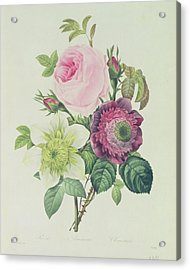 Rose Acrylic Print by Pierre Joseph Redoute