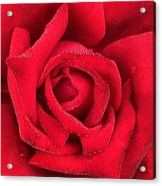 Rose #red #rose #flower #garden Acrylic Print