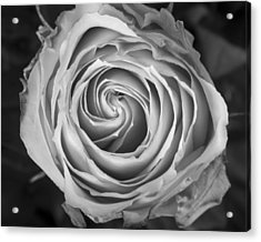 Rose Spiral Black And White Acrylic Print by James BO  Insogna