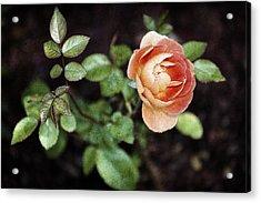 Rose Acrylic Print by Stefan Nielsen