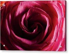 Rose Study 1 Acrylic Print