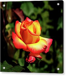 Acrylic Print featuring the photograph Rose To Remember by Dale Stillman