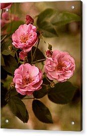 Rose Trio Acrylic Print by Jessica Jenney