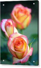 Rose Trio Acrylic Print by Kathy Yates