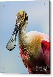 Roseate Spoonbill Close-up Acrylic Print by Robert Frederick