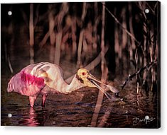 Acrylic Print featuring the photograph Roseate Spoonbill Gulping by David A Lane