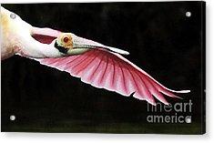 Roseate Spoonbill In Flight Acrylic Print