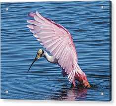 Roseate Spoonbill Profile With Wings Over Her Head Acrylic Print