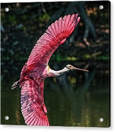 Roseate Spoonbill Acrylic Print by Steven Sparks
