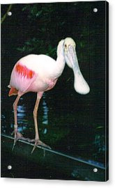 Roseate Spoonbill  Acrylic Print by Warren Thompson