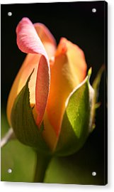 Rosebud Acrylic Print by PIXELS  XPOSED Ralph A Ledergerber Photography