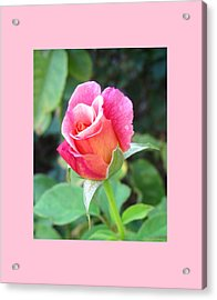 Rosebud With Border Acrylic Print by Mary Ellen Frazee